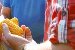 Maisitõlviku tärklisesisaldus