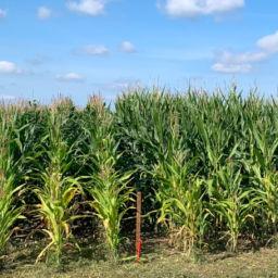 Maisi katsepõld augusti lõpus 2019